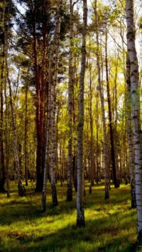 Birch Forest Wallpaper Iphone
