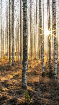 Birch Forest Wallpaper Phone