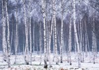 Birch Trees Winter Wallpaper