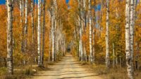 Birch Trees Road Wallpaper