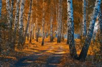 Birch Forest Hd Wallpaper