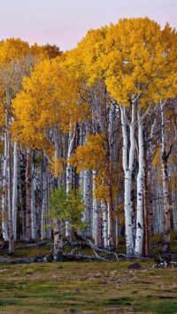 Birch Forest Wallpaper