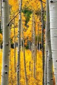 Birch Tree Wallpaper Iphone