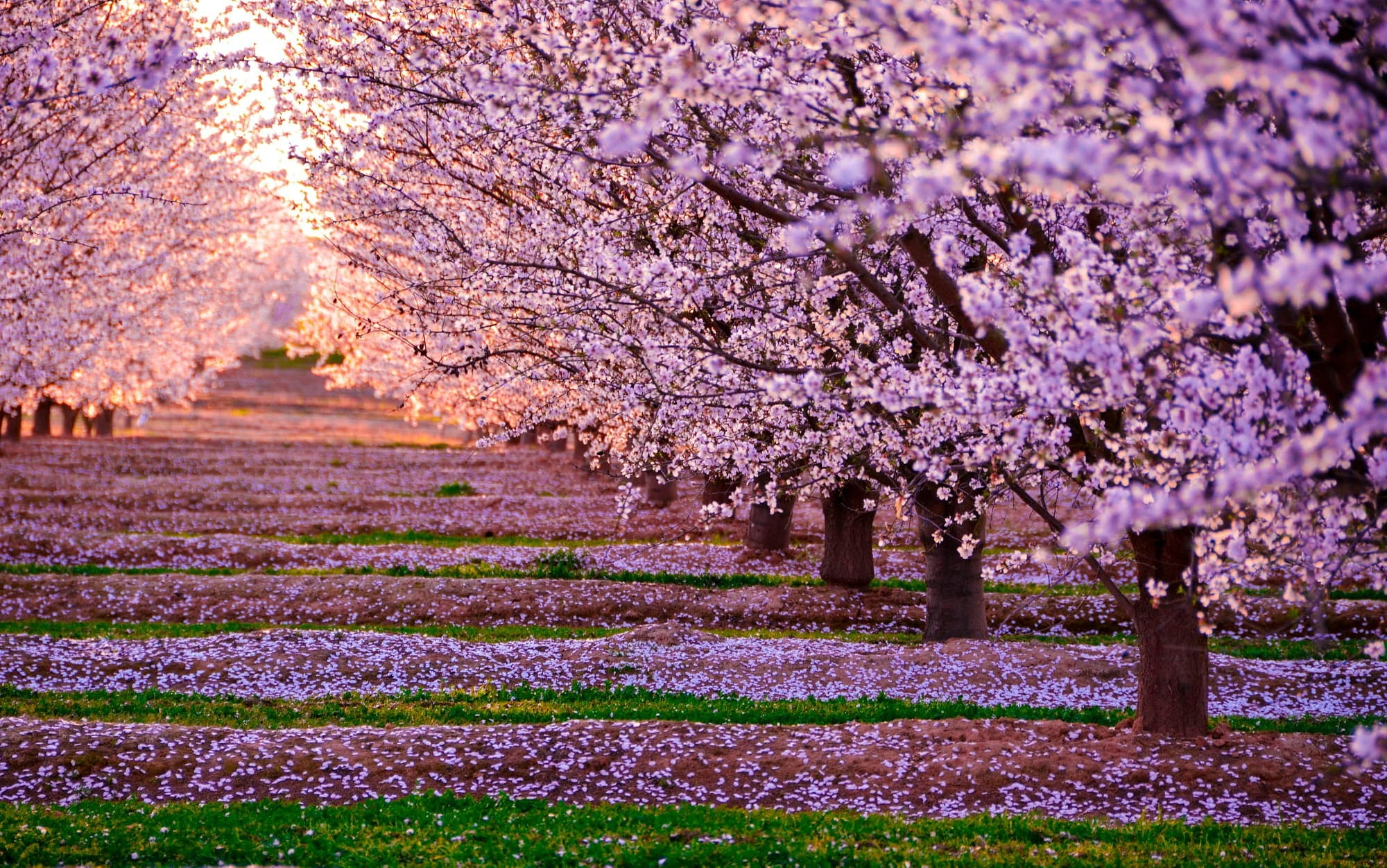 Cherry Blossom Hd Wallpaper - KoLPaPer - Awesome Free HD ...