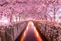 Cherry Blossom Wallpaper 5