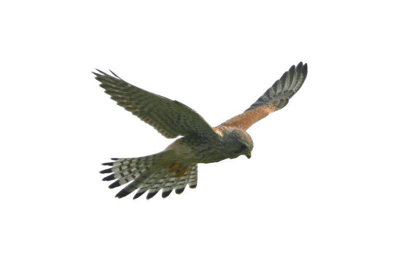 Flying Falcon Transparent Wallpaper