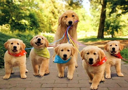 Golden Retriever Babies With Mum Kolpaper Awesome Free Hd Wallpapers