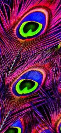 Peafowl Feather Iphone Wallpaper