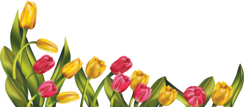 Tulip Transparent Images