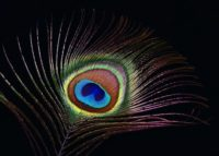 Peacock Feather Wallpaper Desktop