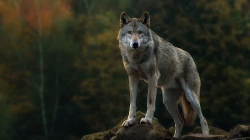 4K Wolf Wallpaper