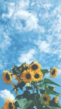 Aesthetic Sunflower Wallpapers