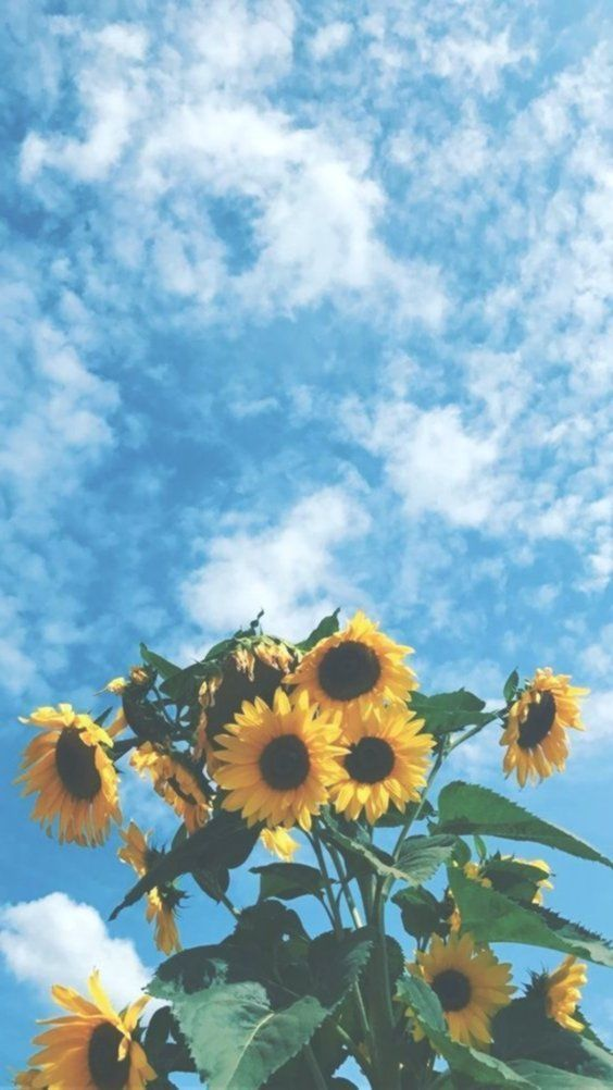 Aesthetic Sunflower Wallpapers Kolpaper Awesome Free Hd Wallpapers