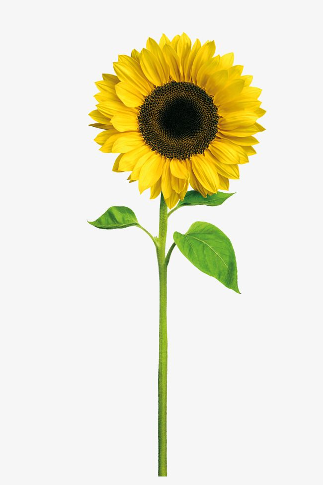 Alone Sunflower Wallpaper