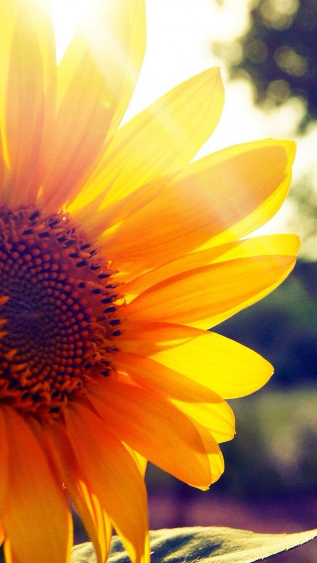 Beautiful Sunflower Wallpaper