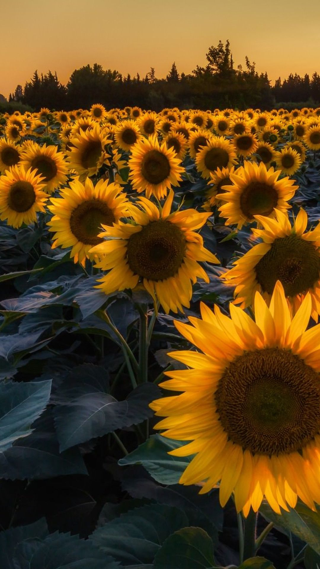 Iphone Sunflower Wallpapers