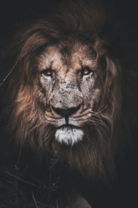 Lion Wallpapers 5