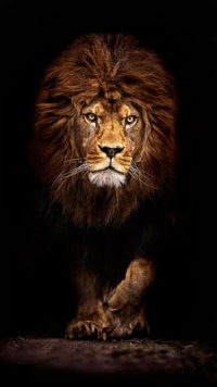 Lion Wallpapers 6