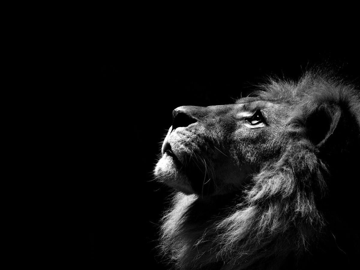 Lion Wallpapers 7