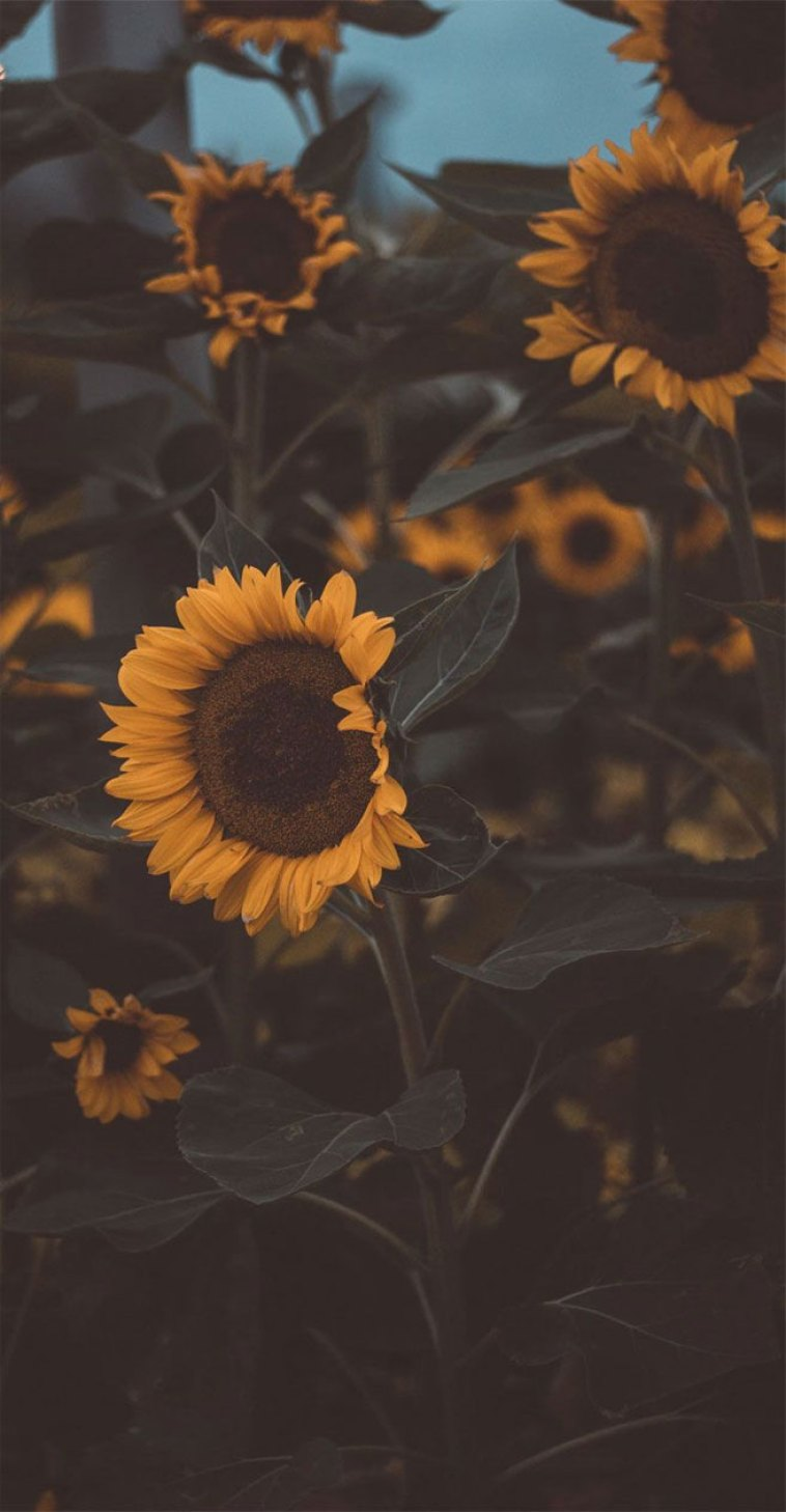 Sunflower Phone Wallpaper 2
