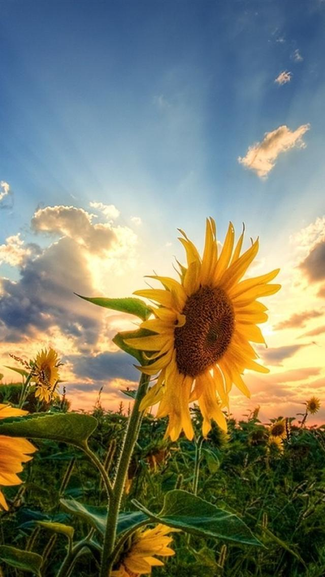 The Sunflower Wallpaper