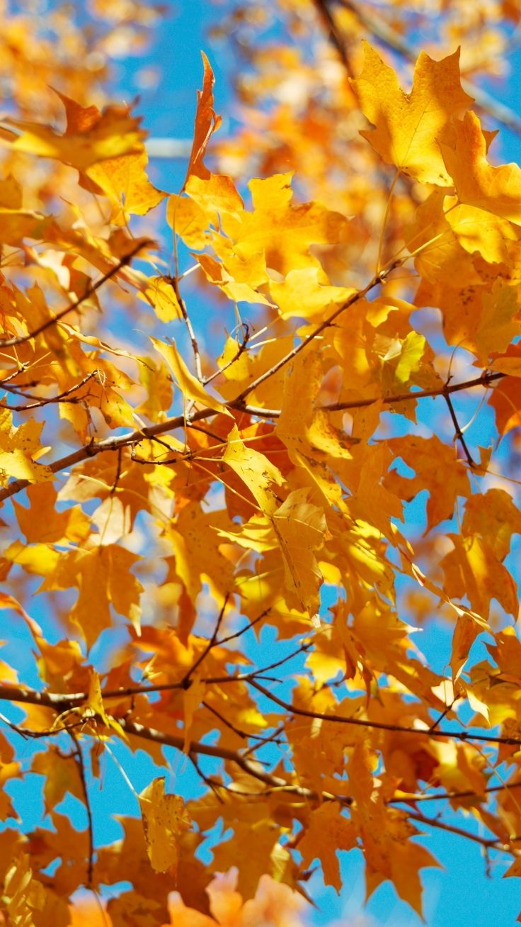 Yellow Leaves Wallpaper