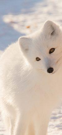 Arctic Fox Wallpaper 3