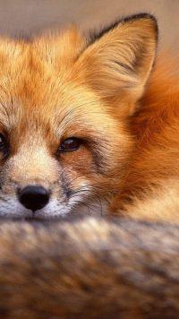 Cute Fox Wallpaper 3