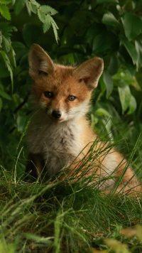 Cute Fox Wallpaper 6