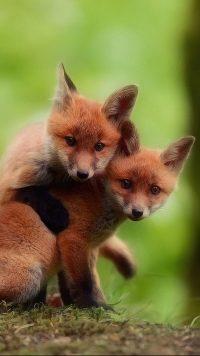 Cute Fox Wallpapers 2