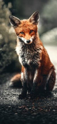 Fox Wallpaper 6