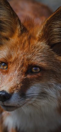 Fox Wallpaper 7