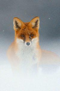 Fox Wallpaper iPhone 2