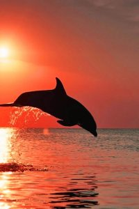 Sunset Dolphin Wallpapers