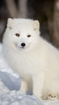 White Fox Wallpaper 2