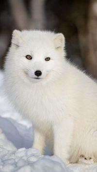 White Fox Wallpaper 2