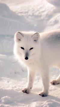White Fox Wallpaper 3