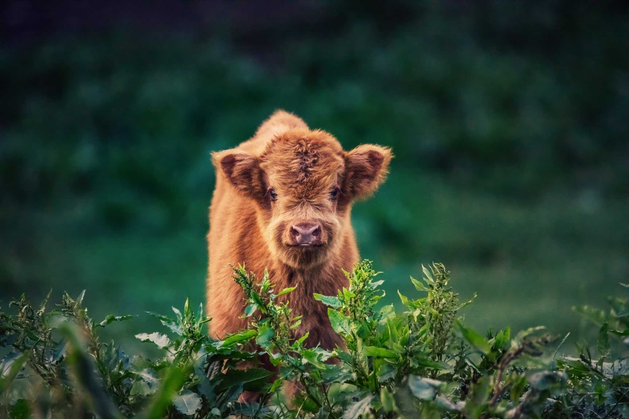 Highland Cattle Wallpaper 1