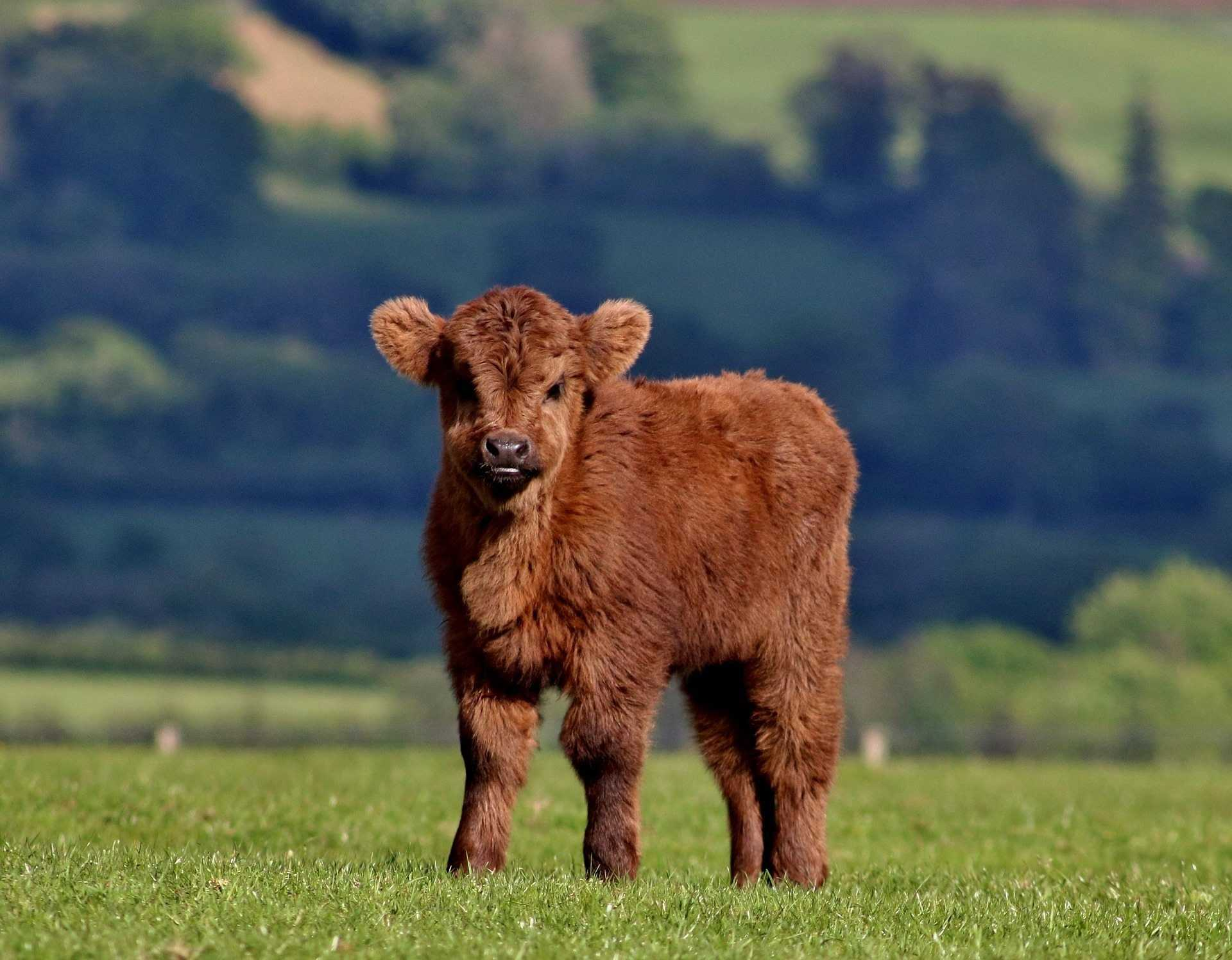 Highland Cow Wallpaper 1