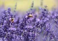 Lavender Wallpapers 7