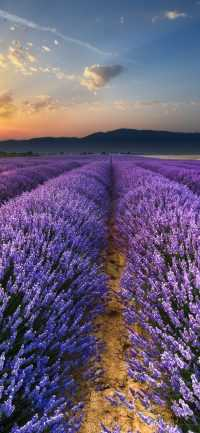 Lavender Wallpapers Phone 2