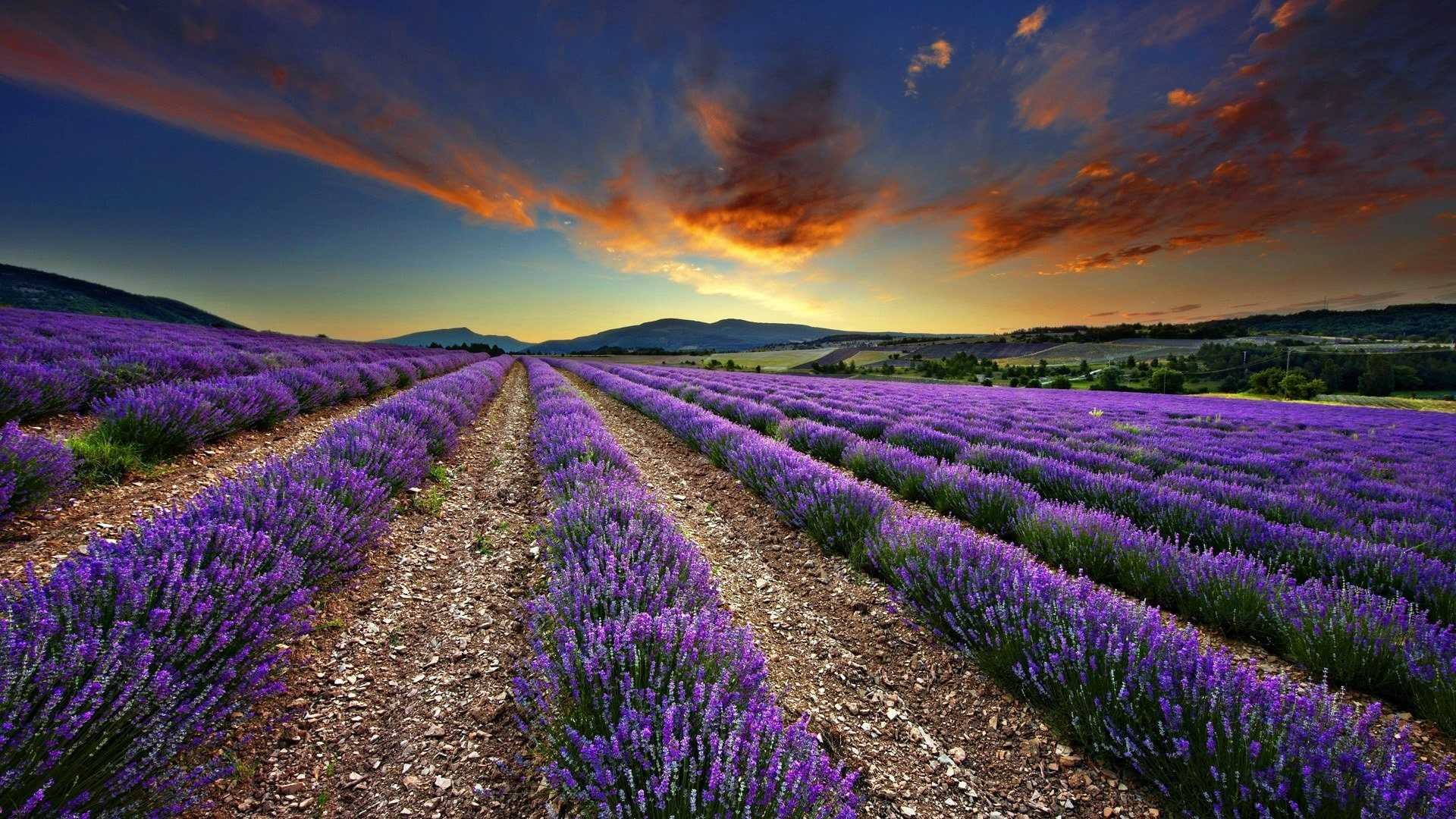 Lavender Wallpapers 1